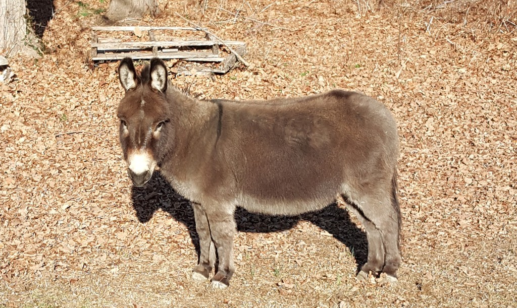 Bo the fuzzy donkey in the sun.