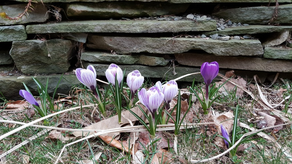 crocus in front of stone wall